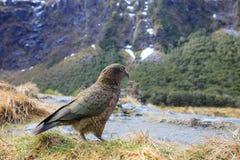 Slut upp den härliga färgfjädern, fjäderdräkt av keafåglar med suddighet Arkivbild