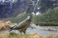 Slut upp den härliga färgfjädern, fjäderdräkt av keafåglar med suddighet Arkivfoto