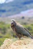 Slut upp den härliga färgfjädern, fjäderdräkt av keafåglar med suddighet Royaltyfri Bild