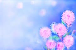 Slut upp den härliga rosa mimosapudicablomman Arkivbilder