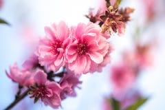 Slut upp den körsbärsröda blomningen sakura Arkivfoton
