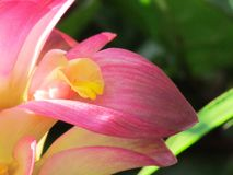 Slut upp den lösa gurkmejablomman, Curcumaaromatica Salisb Rosa färgWi arkivbild