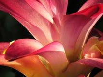 Slut upp den lösa gurkmejablomman, textur och färg av kronbladen royaltyfri bild