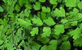 Slut upp den Maidenhair ormbunken eller Adiantumväxten som isoleras på bakgrund arkivfoton