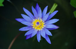 Slut upp den nya lotusblommablomningen Fotografering för Bildbyråer