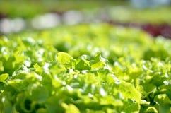 Slut upp den organiska hydroponic salladgrönsaken Arkivbild