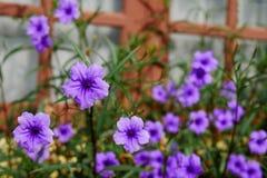 Slut upp den purpurfärgade Ruellia tuberosablomman med det suddiga fönstret och gräsplanbakgrund arkivfoto