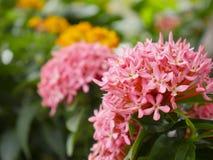 Slut upp den rosa Ixora blomman och det oskarpa gröna bladet i trädgården royaltyfri bild