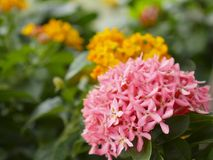 Slut upp den rosa Ixora blomman och det oskarpa gröna bladet i trädgården arkivbilder