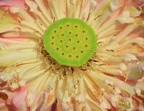 Slut upp den rosa lotusblommablomman Royaltyfria Bilder