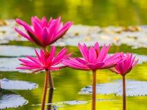 Slut upp den rosa näckrosblomningen i dammet Royaltyfri Bild