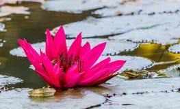 Slut upp den rosa näckrosblomningen i dammet Royaltyfri Foto