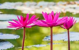 Slut upp den rosa näckrosblomningen i dammet Royaltyfria Foton