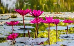 Slut upp den rosa näckrosblomningen i dammet Royaltyfri Fotografi