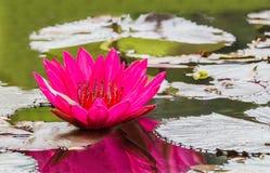 Slut upp den rosa näckrosblomningen i dammet Arkivfoton