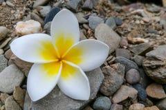 Slut upp den vita frangipaniblomman Royaltyfri Foto