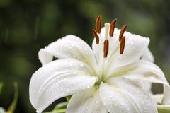 Slut upp den vita liljan Arkivbilder