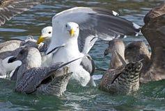 Slut upp den vita seagullen i flock på vatten Royaltyfria Foton