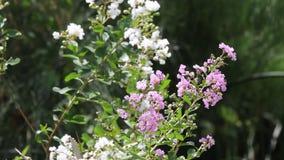 Slut upp den vita Tabebuia roseablomningen lager videofilmer