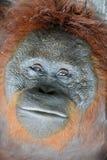 Slut upp Ett slut upp ståenden av orangutanget Arkivbilder