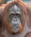 Slut upp Ett slut upp ståenden av orangutanget Bornean orangutang (Pongopygmaeusen) Royaltyfri Bild