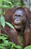 Slut upp Ett slut upp ståenden av orangutanget Slut upp på ett kort avstånd Fotografering för Bildbyråer