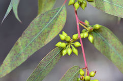 Slut upp eukalyptusträd Royaltyfri Bild