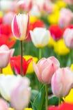 Slut upp färgrika tulpan i trädgården Royaltyfria Foton