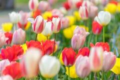 Slut upp färgrika tulpan i trädgården Royaltyfria Bilder