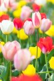 Slut upp färgrika tulpan i trädgården Arkivbilder
