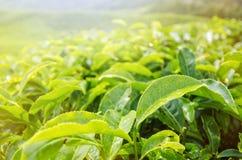 Slut upp feshgräsplanteblad med morgonsignalljuset Arkivfoton