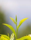 Slut upp feshgräsplanteblad med morgonsignalljuset Fotografering för Bildbyråer