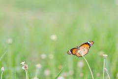 Slut upp fjäril på blomman Coatbuttons Mexicansk tusensköna monark arkivfoton