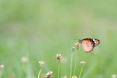 Slut upp fjäril på blomman Coatbuttons Mexicansk tusensköna monark arkivfoto
