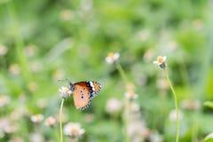 Slut upp fjäril på blomman Coatbuttons Mexicansk tusensköna monark royaltyfri fotografi