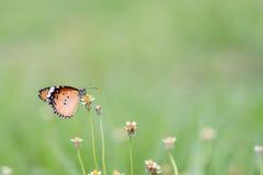 Slut upp fjäril på blomman Coatbuttons Mexicansk tusensköna monark arkivbild