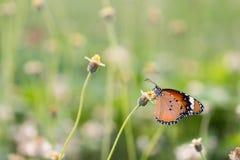 Slut upp fjäril på blomman Coatbuttons Mexicansk tusensköna monark arkivbilder