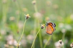 Slut upp fjäril på blomman Coatbuttons Mexicansk tusensköna monark fotografering för bildbyråer