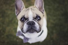 Slut upp fotoet av en fransk bulldogg royaltyfri foto