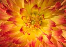 Slut upp fotoet av ett blommahuvud Arkivfoto