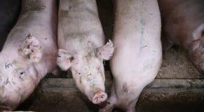 Slut upp fotoet av hungriga rosa kul?ra enorma svinsuggor fotografering för bildbyråer