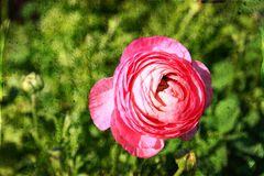 Slut upp fotoet av rosa färgblomman texuted samkopiering royaltyfria foton