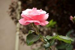 Slut upp fotoet av rosa färgrosblomman royaltyfri bild