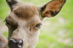 Slut upp Front View av en röd hjort Hind Face med fokusen på ögat Arkivfoto