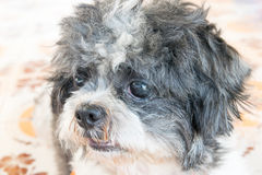 Slut upp gammal framsida för shihtzuhund Royaltyfria Bilder