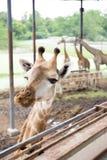 Slut upp giraffframsida Royaltyfria Bilder