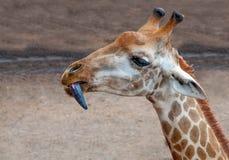 Slut upp giraffhuvudet Fotografering för Bildbyråer