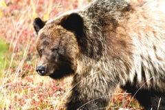 Slut upp grisslybjörn arkivfoto