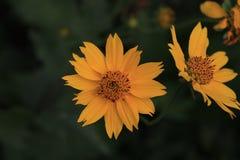 Slut upp gula blommor för makro med grön bakgrund arkivbilder