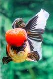 Slut upp guldfisk i akvarium Arkivbilder